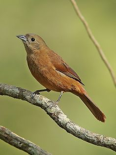 Foto tiê-preto (Tachyphonus coronatus) por Zé Maria | Wiki Aves - A Enciclopédia das Aves do Brasil