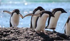 """Where Antarctica Penguins """"Go,"""" Biodiversity Follows Penguin Facts, Penguin Day, Nature Research, Elephant Seal, Emperor Penguin, Large Animals, In The Tree, Fleas, Natural History"""