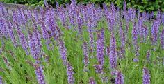 Salvia nemorosa 'Blauhügel' op vasteplant.be