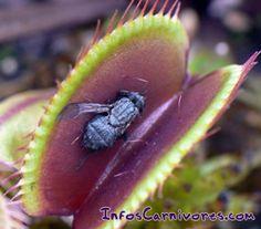 plante carnivore qui mange les moucherons