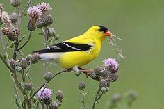 American-Goldfinch-feeding-on-thistle-BINNS-IMG_4559-copy.jpg (400×267)