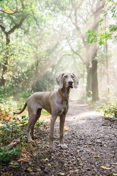 beautiful ~ weimaraner, vizsla, and german shorthair pointer Cute Dogs And Puppies, I Love Dogs, Doggies, Animals And Pets, Cute Animals, Weimaraner Puppies, Corgi Puppies, Vizsla, Sweet Dogs