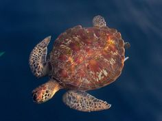 //pictured: A loggerhead sea turtle swimming in the waters off the coast of Israel//. LIght pollution along the Mediterranean is changing the nesting habits of sea turtles. Light pollution is disrupting visual cues. Sea Turtle Nest, Turtle Love, Land Turtles, Sea Turtles, Aquatic Turtles, Turtle Swimming, Light Pollution, Underwater Life, Wild Creatures