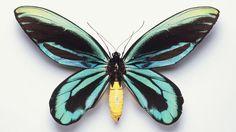 papua new guinea butterflies -