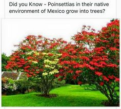 Poinsettia tree.