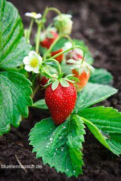 Zum Erdbeerbeete anlegen ist ein Boden pH-Wert von 5,5-6,5 ideal. Beim Pflanzen sollte ein Reihenabstand v. 60-90 cm eingehalten werden. Erntezeit: morgens!