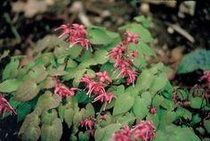 """Barrenwort (Epimedium grandiflorum """"Rose Queen"""")"""