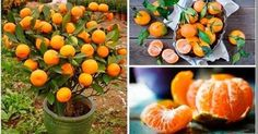 No volverás a comprar Mandarinas. Haz esto en una Maceta y tendrás cientos de mandarinas siempre!   Mi Mundo Verde