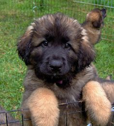 BC Leonberger Puppies 2010 by BC Leonbergers, via Flickr