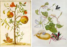 Maria Sibylla Merian and daughters artist/scientist 1665