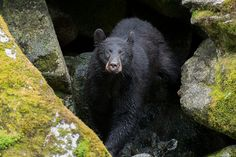 Black Bear Just returned from an Alaskan cruise. Had a great experience visiting Anan Creek about 50 miles North of Ketchikan. Saw about 10-15 bears and hundreds of bald eagles.