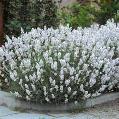 Edelweiss lavender...could do this across the front of the house in front of the little hedge...