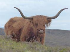 Highland Cows @ The Isle of Skye Scotland Photo taken by Yasemin Onal   #animals #scotland #isleofskye #cows #highlands #nature #bestoftheday