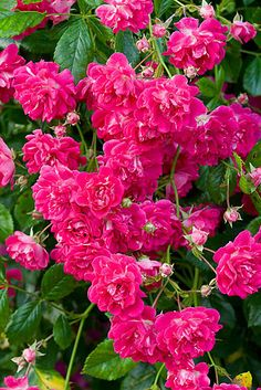Rosa 'Super Excelsa' is a great rambling climber.  Magenta pink to light red flowers repeat all season long.  A great choice for a split rail fence or as a groundcover.