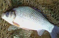 Рыбалка видео: Ловля карася в апреле