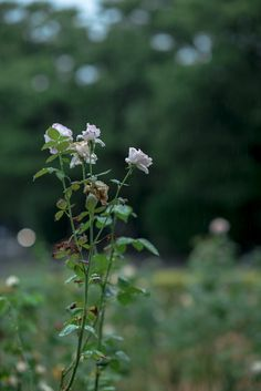 https://flic.kr/p/xi7f7v | バラ、雨の中 | Rose in the rain