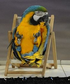 Macaw just chillin' in his chair!