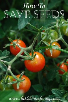 How to Save Seeds | LittleHouseLiving.com | Learn how to save seeds so you can save money on planting your vegetable garden next year! Learn to save the most commonly used seeds and reap the reward!