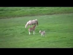 Welsh Pony foals playing, spring 2012