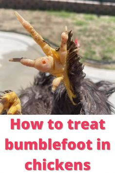 How to treat bumblefoot in chickens Urban Chickens, Pet Chickens, Raising Chickens, Backyard Poultry, Backyard Farming, Chickens Backyard, Get Rid Of Ringworm, Raising Farm Animals, Perfect Chicken