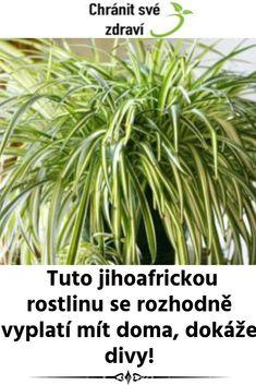 Tuto jihoafrickou rostlinu se rozhodně vyplatí mít doma, dokáže divy! Herbs, Health, Health Care, Herb, Salud, Medicinal Plants