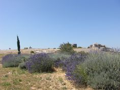 Lavender in Provence.  I got too close and broke out in hives. 2009. Too bad 'cause I love the smell!