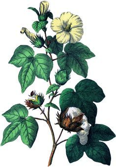 Botanical Cotton Plant Image! - The Graphics Fairy