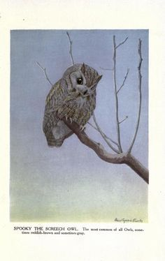 """""""Spooky, the Screech Owl,"""" by the incomparable illustrator Louis Agassiz Fuertes. From The Burgess bird book for children, - Biodiversity Heritage Library"""