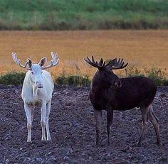 Moose in Fairbanks, Alaska white albino Moose Pics, Moose Pictures, Animal Pictures, Nature Animals, Animals And Pets, Baby Animals, Cute Animals, Moose Hunting, Bull Moose