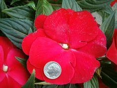 New Guinea Impatients- annuals that produce HUMONGOUS blooms for the shade!