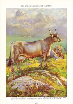 1925 Animal Print Brown Swiss Cows Vintage Antique by Holcroft