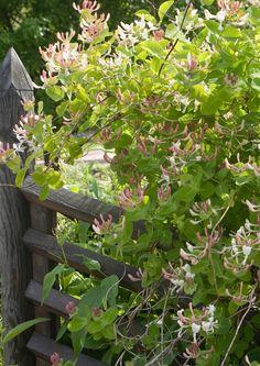 Köynnöskasvit tuovat puutarhaan monipuolisuutta ja runsautta. Ne verhoavat aidat ja pergolat ja ilahduttavat kukillaan. Katso Viherpihan köynnöskasvivalinnat.