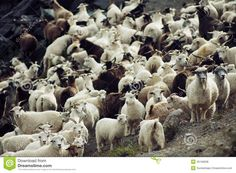 Photo about Mixed Herd of goat and sheep. Image of rocks, herd, many - 45158008 Animal Alphabet, Nature Images, Sheep, Goats, Stock Photos, Mountains, Animals, Animales, Animaux