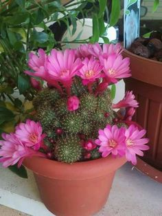 See more ideas about Beautiful flowers, Colors and Exotic flowers. Succulent Gardening, Succulent Terrarium, Cacti And Succulents, Planting Succulents, Planting Flowers, Desert Flowers, Desert Plants, Exotic Flowers, Beautiful Flowers