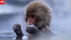 A young snow monkey enjoys the hot springs of Jigokudani Monkey Park. The springs are surrounded by snow-covered mountains. See more photos on CNN iReport. Overseas Adventure Travel, Adventure Travel Companies, Travel Tours, Travel Ideas, Snow Monkey, Cute Monkey, Adventure Holidays Europe, Jigokudani Monkey Park, Primates