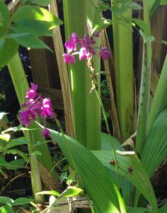 Ground orchid (Spathoglottis unguiculata)