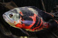 """Astronotus ocellatus """"Bahia red"""""""
