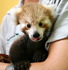 Maiya the Red Panda cub is making a remarkable recovery from a neck injury thanks to expert care from her keepers at Taronga Zoo. Read her story and see video at ZooBorns.com and at http://www.zooborns.com/zooborns/2017/01/red-panda-cub-gets-a-helping-hand-at-taronga-zoo.html