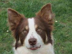 Corvallis, OR. Border Collie. KISMET is a lovely girl but  not a confident or outgoing dog. She loves to play ball & that gives her a lot of courage.Needs time to warm up to people & needs lots of attention & exercise. Takes a long time to adjust. She really needs someone who will go slow, not push her. Once she bonds w/ you, she loves her person.Has done great here. Loves clicker training.  She plays nicely with other dogs. Can't be bounced around anymore. bordercreekrescue@gmail.com