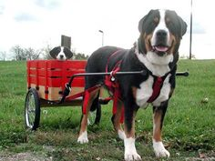 How Much Weight Can A Bernese Mountain Dog Pull