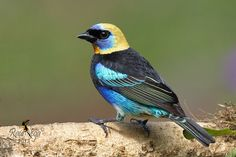 Tangara Capuchidorada - Golden hooded Tanager - (Tangara larvata) | Flickr - Photo Sharing!