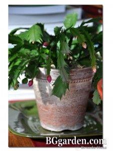 Easy to Grow Christmas Cactus - How To on BGgarden.com Cactus House Plants, Cactus Cactus, Christmas Cactus, Last Christmas, Easter Cactus, Planting, Gardening, Desert Rose, Houseplants