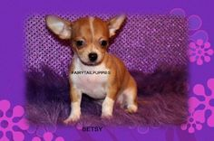 "Fairytailpuppies ""where pets are family too - BETSY"