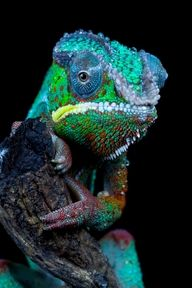 Exotic pets 552042866805427097 - Chameleon by Angi Wallace Source by issyteam Les Reptiles, Reptiles And Amphibians, Mammals, Beautiful Creatures, Animals Beautiful, Animals And Pets, Cute Animals, Chameleon Lizard, Karma Chameleon