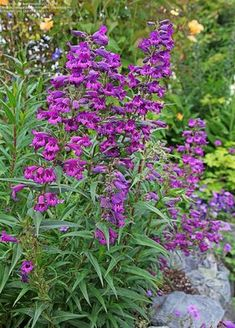 Deep purple 'Midnight' penstemon - Annie's Annuals and Perennials Landscaping Plants, Garden Plants, Front Yard Planters, Deer Resistant Flowers, Purple Flowering Plants, Cottage Garden Borders, Easy Plants To Grow, California Native Plants, Landscape Concept