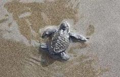 All about Olive Ridley Sea Turtles