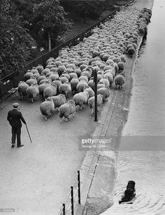 Hyde Park's own shepherd taking his sheep along the Serpentine pathway to new grazing ground elsewhere in the park. His dog has taken to the water to stop the sheep from swimming off, 16th March 1938.
