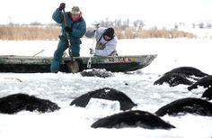 Trời quá lạnh khiến hồ đóng băng nhấn chìm 100 con bò 1