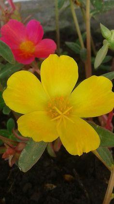 Moss rose Portulaca Flowers, Flower Photography, My Flower, Outdoor Gardens, Gardening, Rose, Plants, Color, Gardens