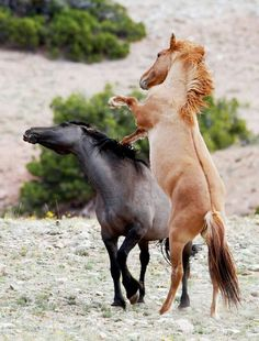 Wild horses fighting. I love that dark stripe of color down red one's back.